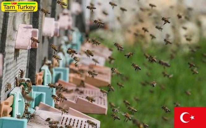 92 درصد عسل کاج جهان را ترکیه تولید میکند