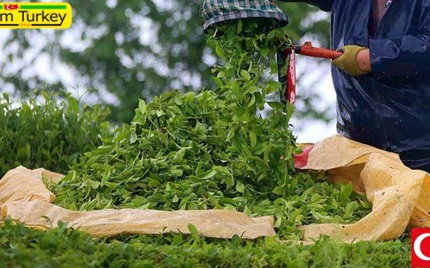 افزایش 47.5 درصدی صادرات چای ترکیه